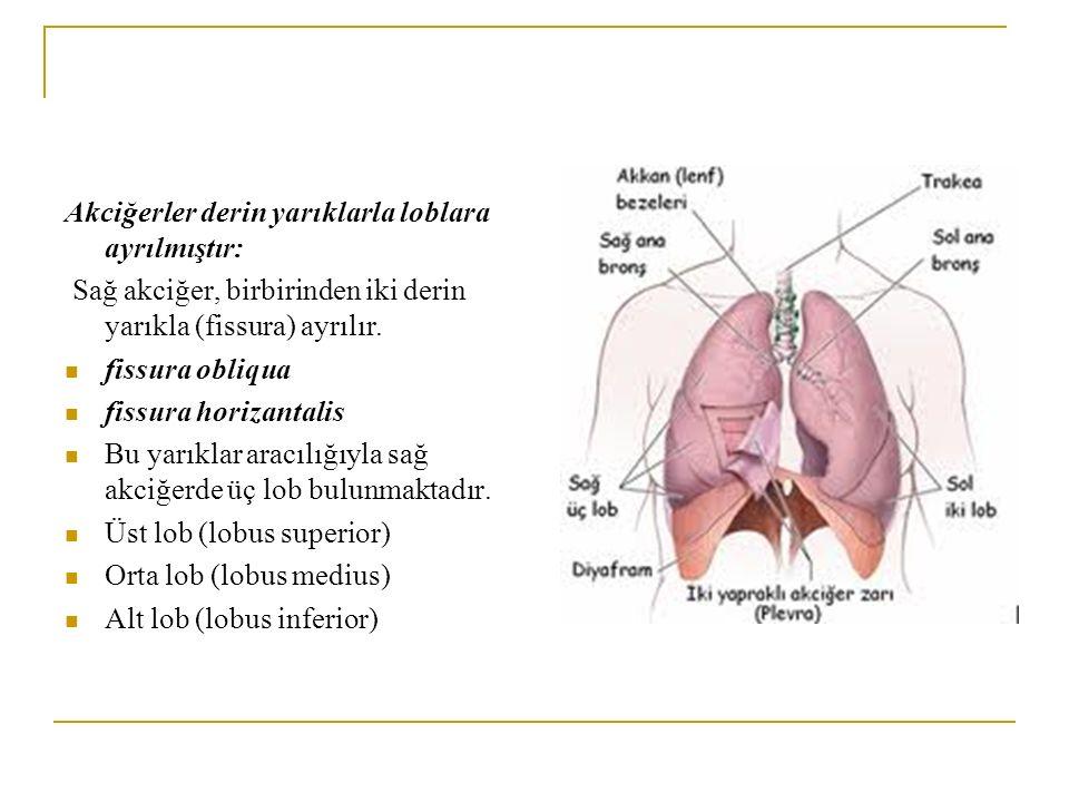 Akciğerler derin yarıklarla loblara ayrılmıştır: