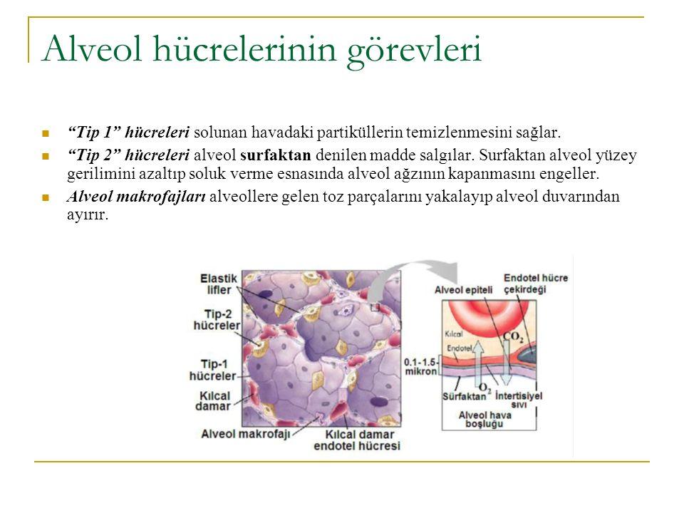 Alveol hücrelerinin görevleri