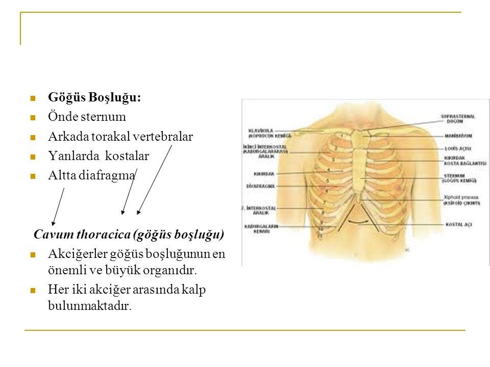 Göğüs Boşluğu: Önde sternum. Arkada torakal vertebralar. Yanlarda kostalar. Altta diafragma. Cavum thoracica (göğüs boşluğu)