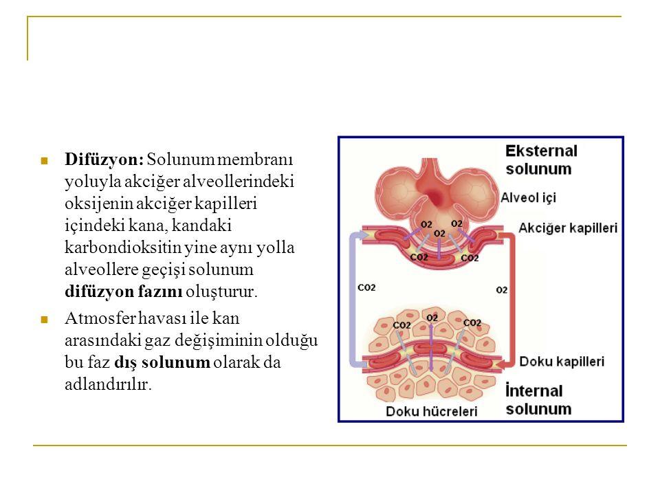 Difüzyon: Solunum membranı yoluyla akciğer alveollerindeki oksijenin akciğer kapilleri içindeki kana, kandaki karbondioksitin yine aynı yolla alveollere geçişi solunum difüzyon fazını oluşturur.