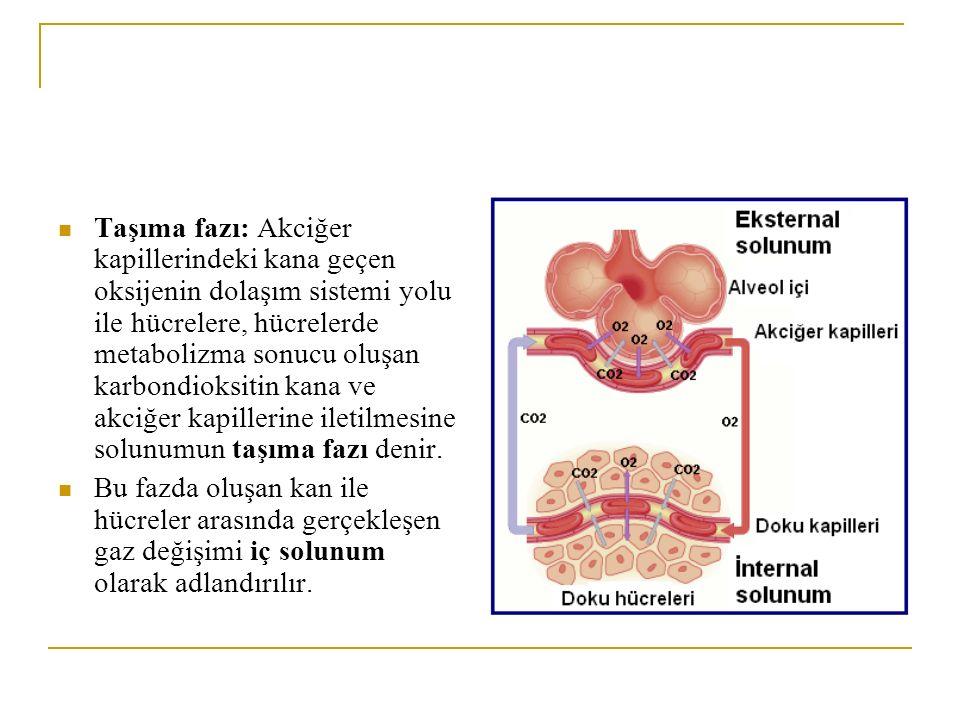 Taşıma fazı: Akciğer kapillerindeki kana geçen oksijenin dolaşım sistemi yolu ile hücrelere, hücrelerde metabolizma sonucu oluşan karbondioksitin kana ve akciğer kapillerine iletilmesine solunumun taşıma fazı denir.
