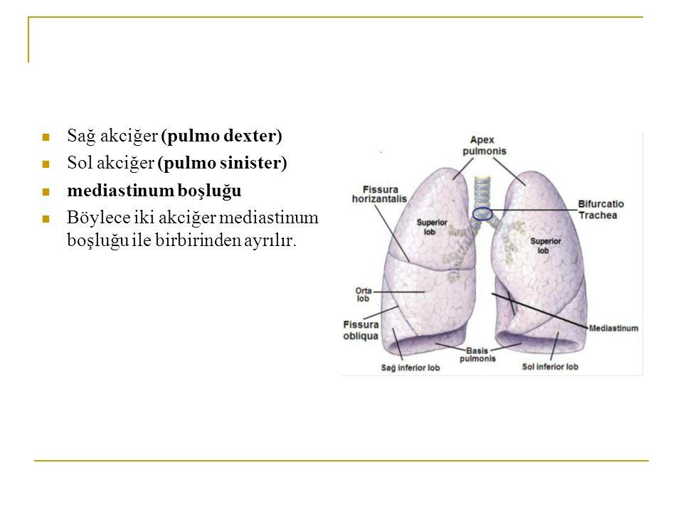 Sağ akciğer (pulmo dexter)