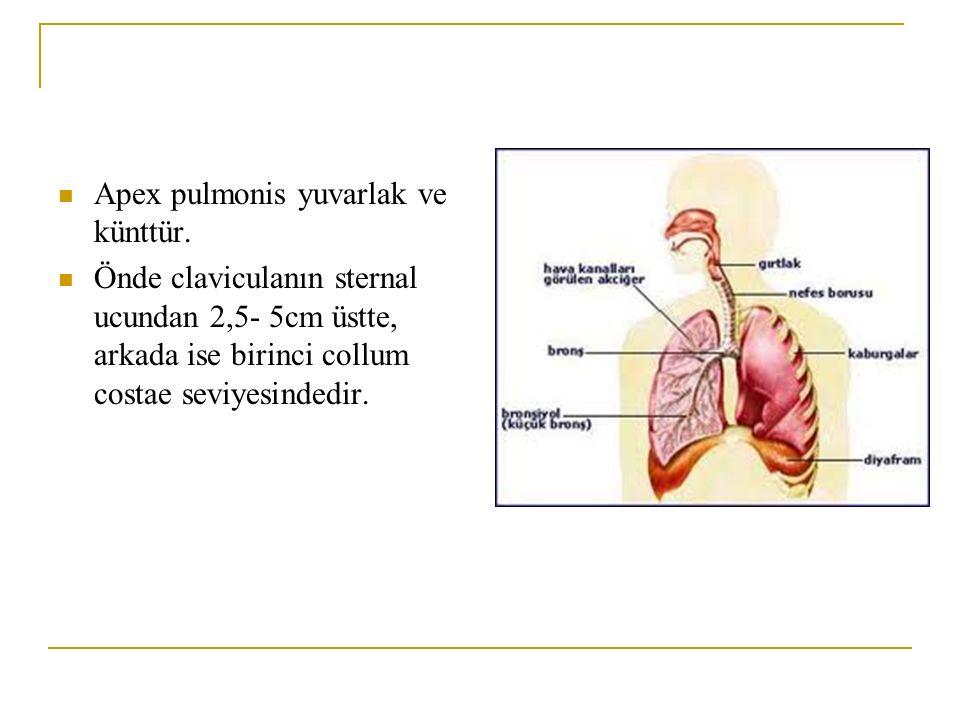 Apex pulmonis yuvarlak ve künttür.
