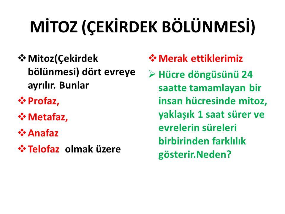 MİTOZ (ÇEKİRDEK BÖLÜNMESİ)