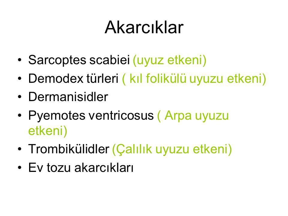 Akarcıklar Sarcoptes scabiei (uyuz etkeni)