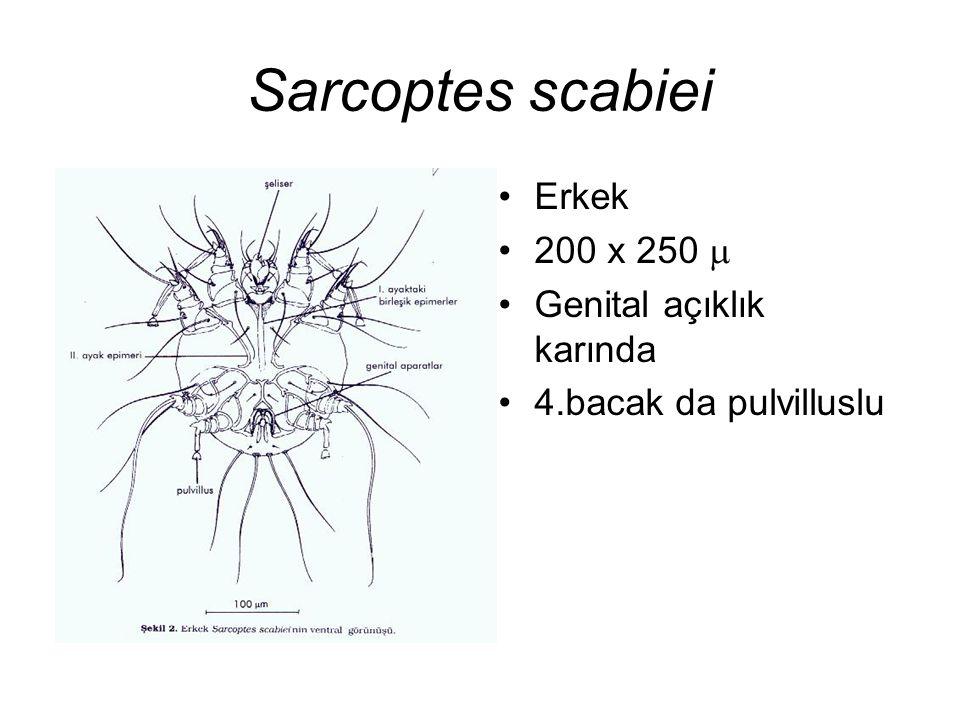 Sarcoptes scabiei Erkek 200 x 250 m Genital açıklık karında
