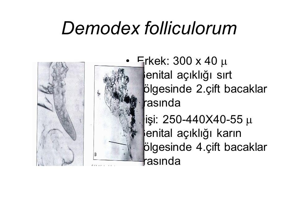 Demodex folliculorum Erkek: 300 x 40 m Genital açıklığı sırt bölgesinde 2.çift bacaklar arasında.
