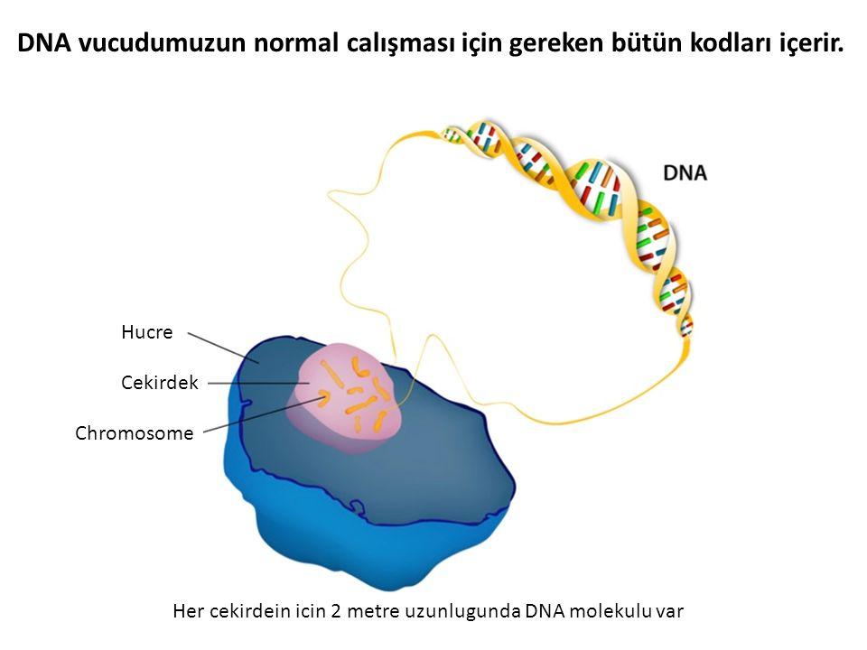 DNA vucudumuzun normal calışması için gereken bütün kodları içerir.