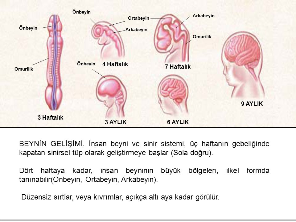 Düzensiz sırtlar, veya kıvrımlar, açıkça altı aya kadar görülür.