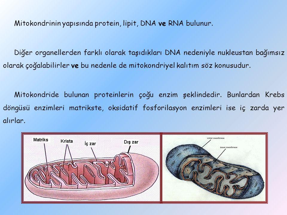 Mitokondrinin yapısında protein, lipit, DNA ve RNA bulunur