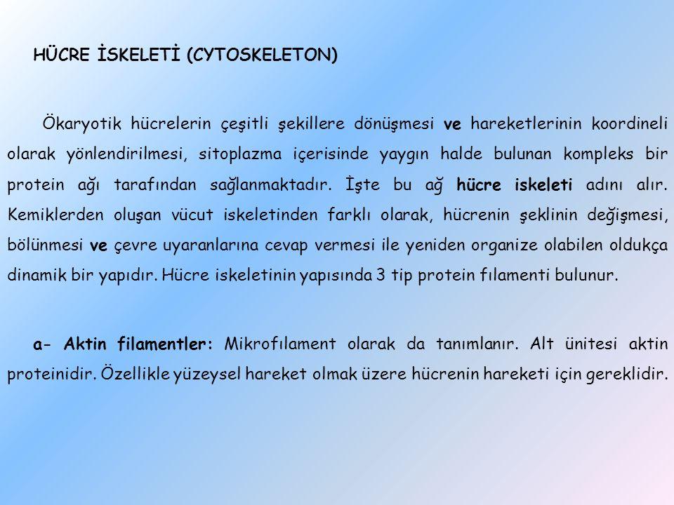 HÜCRE İSKELETİ (CYTOSKELETON) Ökaryotik hücrelerin çeşitli şekillere dönüşmesi ve hareketlerinin koordineli olarak yönlendirilmesi, sitoplazma içerisinde yaygın halde bulunan kompleks bir protein ağı tarafından sağlanmaktadır.