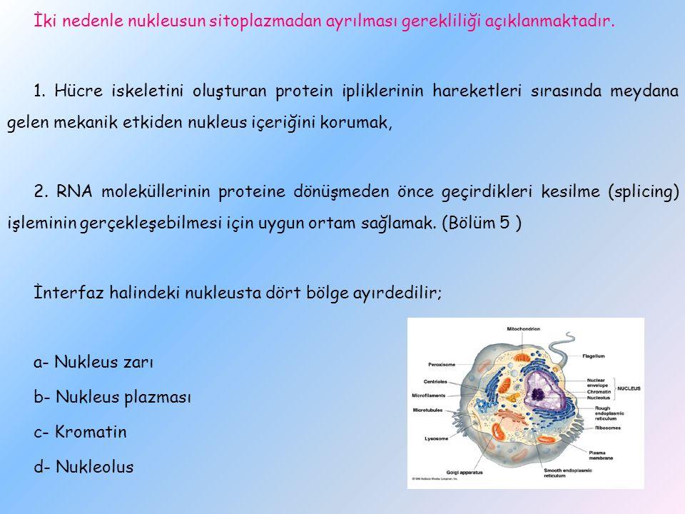 İki nedenle nukleusun sitoplazmadan ayrılması gerekliliği açıklanmaktadır.