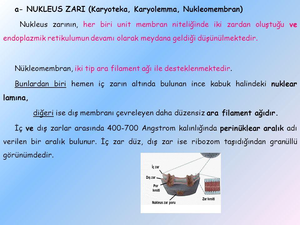 a- NUKLEUS ZARI (Karyoteka, Karyolemma, Nukleomembran) Nukleus zarının, her biri unit membran niteliğinde iki zardan oluştuğu ve endoplazmik retikulumun devamı olarak meydana geldiği düşünülmektedir.