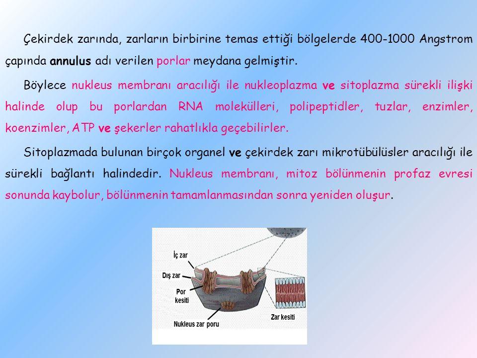 Çekirdek zarında, zarların birbirine temas ettiği bölgelerde 400-1000 Angstrom çapında annulus adı verilen porlar meydana gelmiştir.