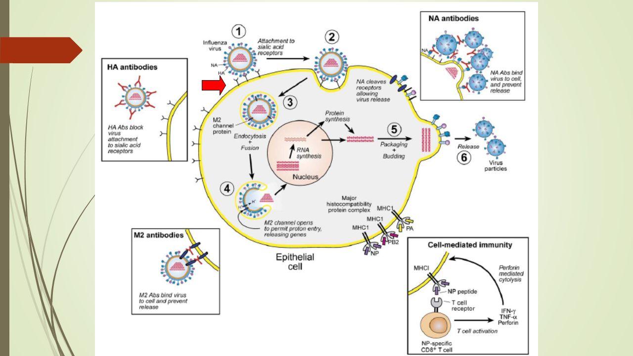 İnfluenza virusunun yaşam döngüsü ve infeksiyon sırasında edinsel immün yanıtların rolü.