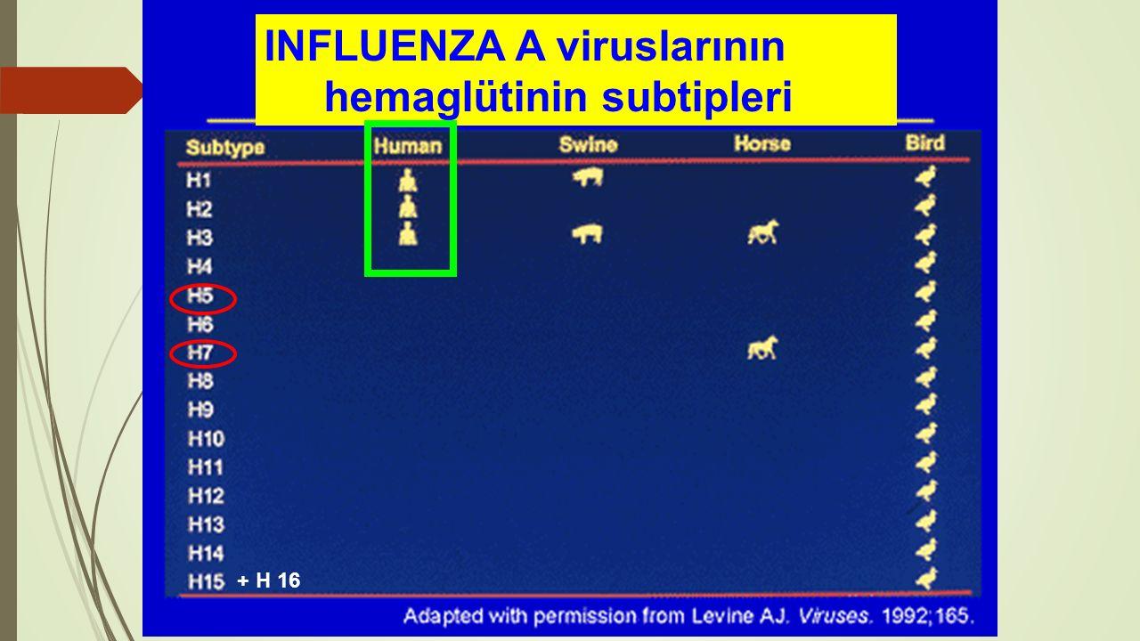 INFLUENZA A viruslarının hemaglütinin subtipleri