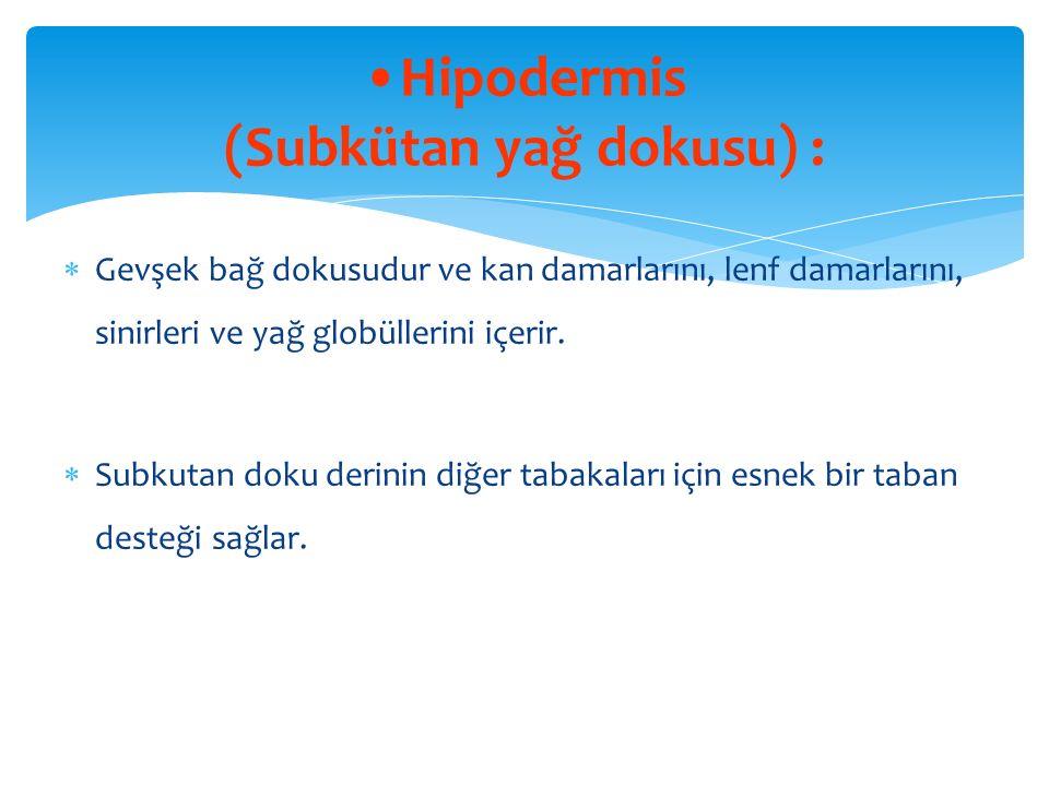 Hipodermis (Subkütan yağ dokusu) :