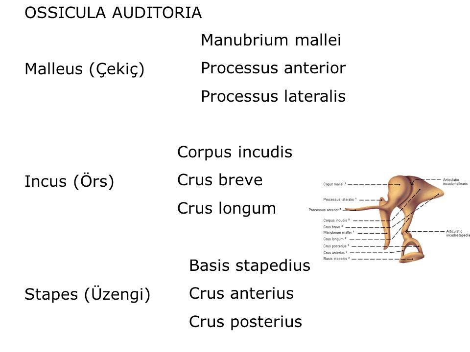 OSSICULA AUDITORIA Malleus (Çekiç) Incus (Örs) Stapes (Üzengi) Manubrium mallei. Processus anterior.