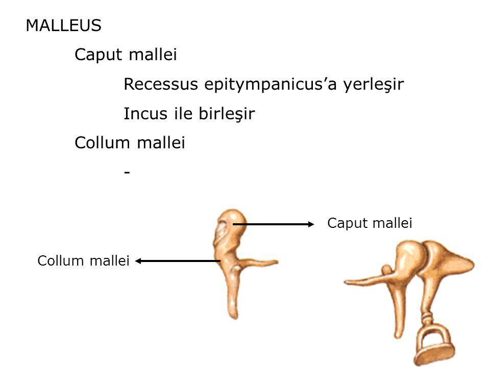 Recessus epitympanicus'a yerleşir Incus ile birleşir Collum mallei -