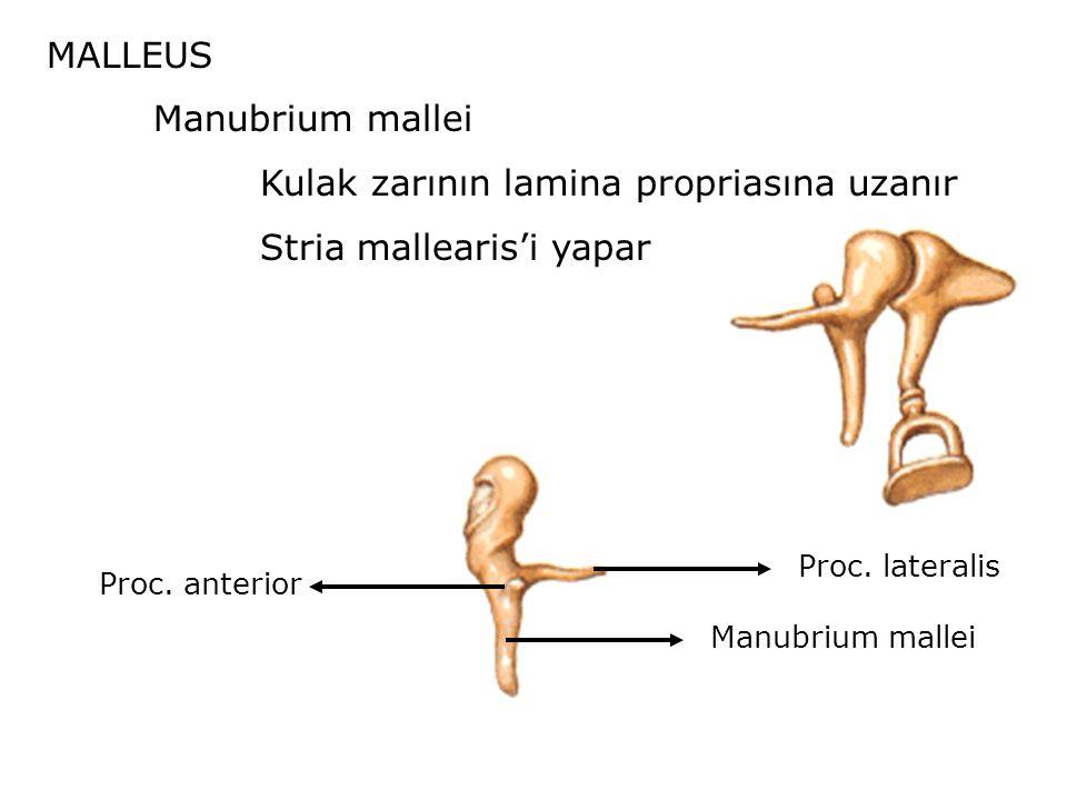 Kulak zarının lamina propriasına uzanır Stria mallearis'i yapar