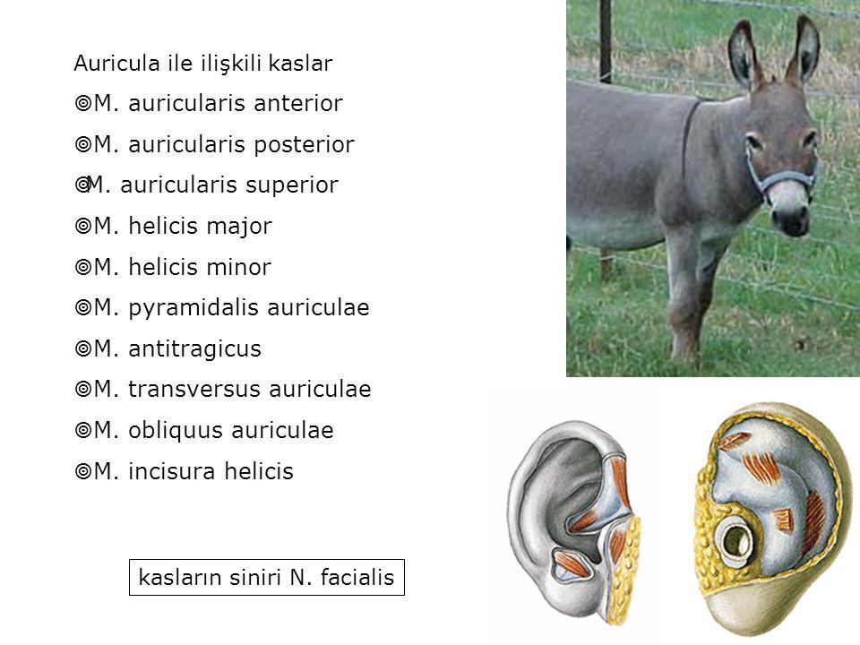 M. auricularis anterior M. auricularis posterior