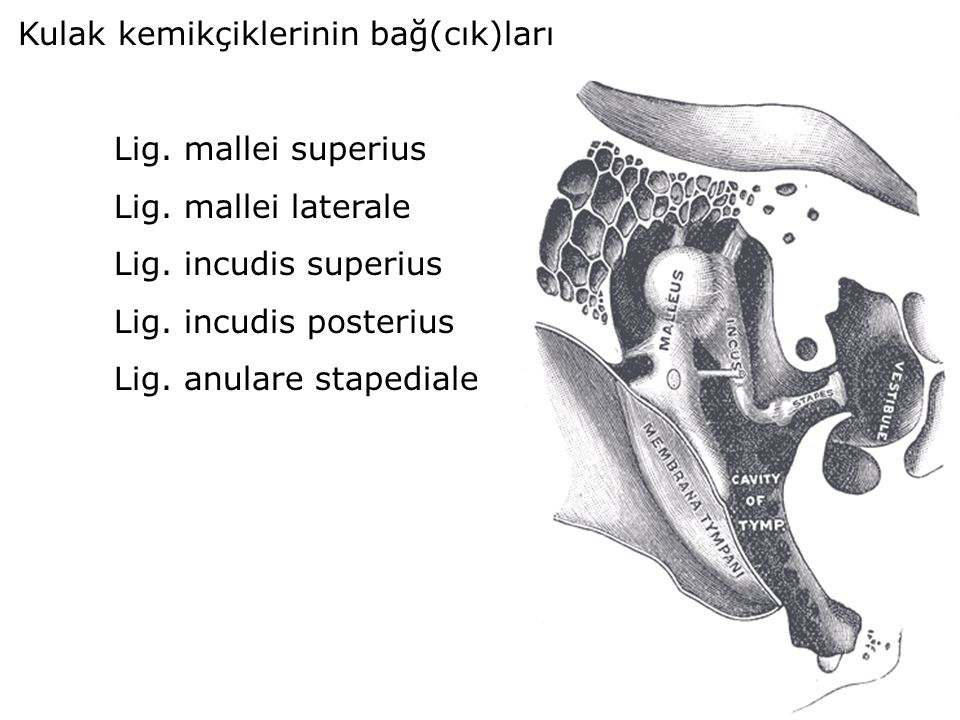 Kulak kemikçiklerinin bağ(cık)ları
