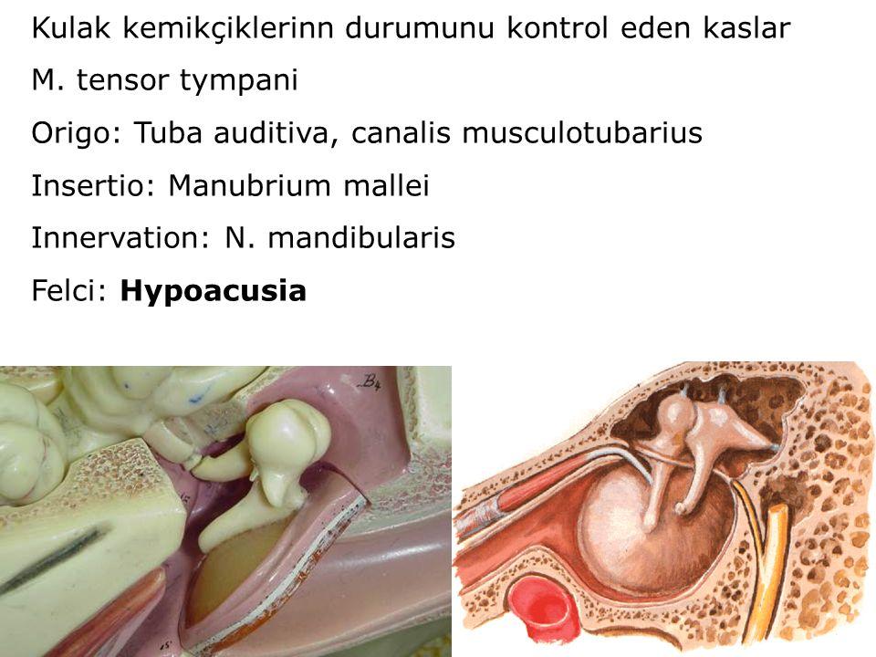Kulak kemikçiklerinn durumunu kontrol eden kaslar