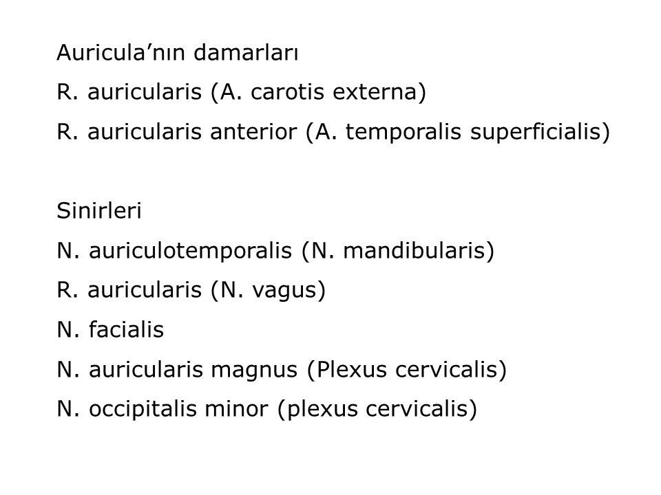 Auricula'nın damarları
