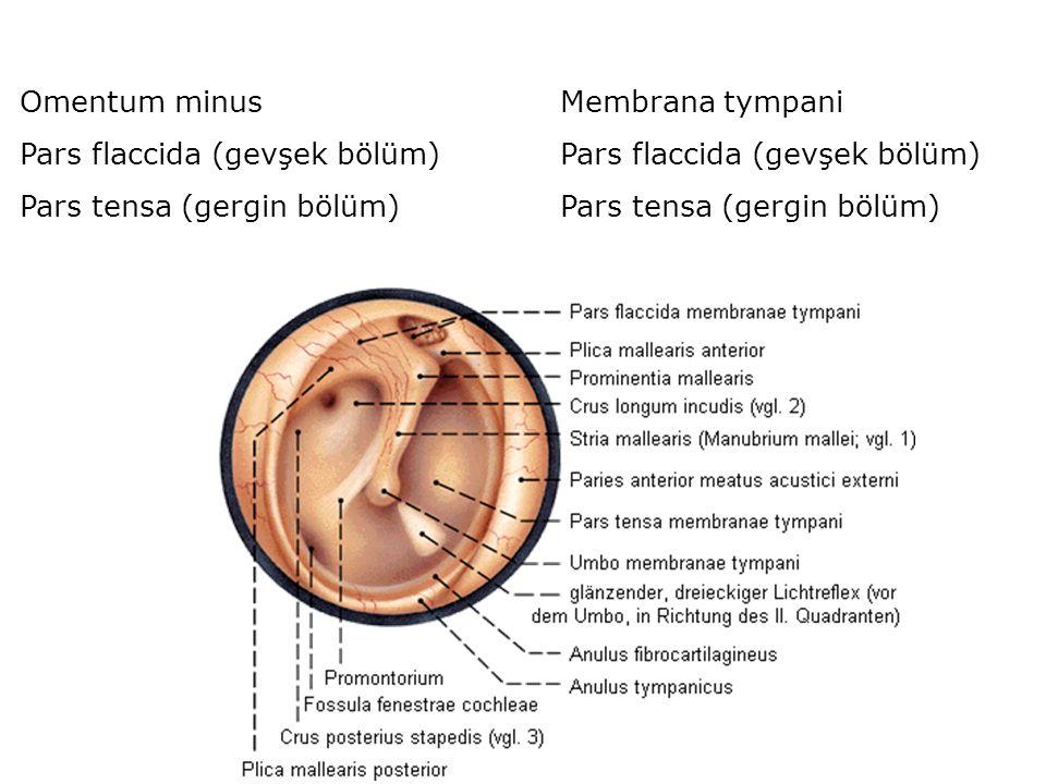 Omentum minus Pars flaccida (gevşek bölüm) Pars tensa (gergin bölüm) Membrana tympani. Pars flaccida (gevşek bölüm)