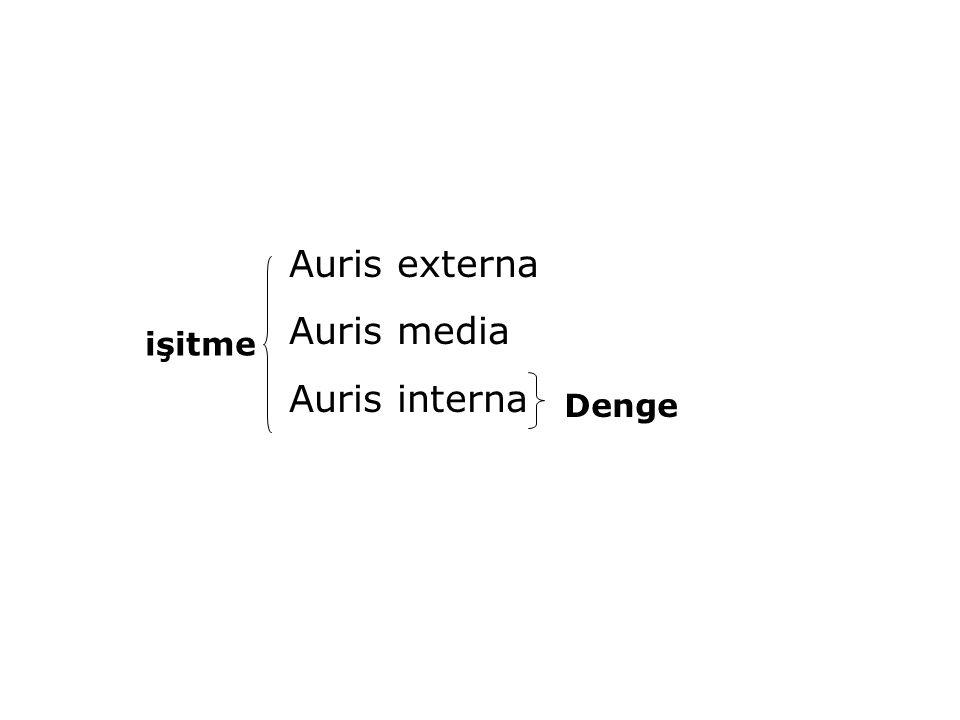 Auris externa Auris media Auris interna işitme Denge