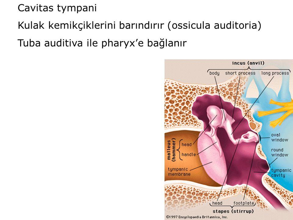 Cavitas tympani Kulak kemikçiklerini barındırır (ossicula auditoria) Tuba auditiva ile pharyx'e bağlanır.
