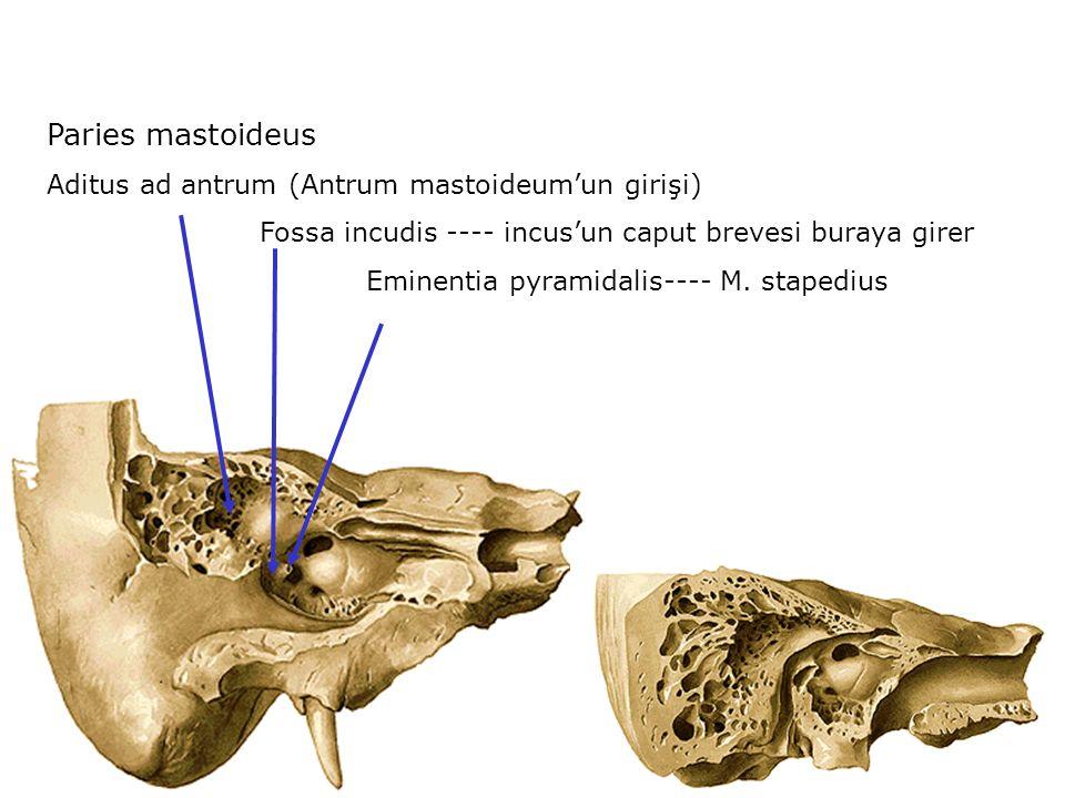 Paries mastoideus Aditus ad antrum (Antrum mastoideum'un girişi)