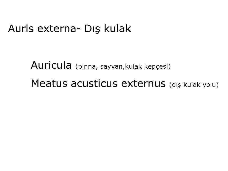 Auris externa- Dış kulak