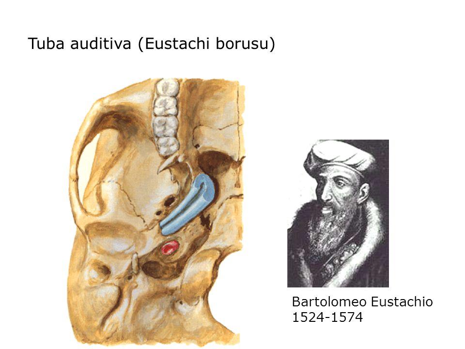 Tuba auditiva (Eustachi borusu)