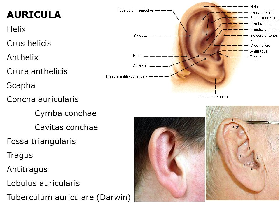 AURICULA Helix Crus helicis Anthelix Crura anthelicis Scapha