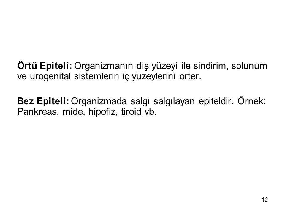 Örtü Epiteli: Organizmanın dış yüzeyi ile sindirim, solunum ve ürogenital sistemlerin iç yüzeylerini örter.