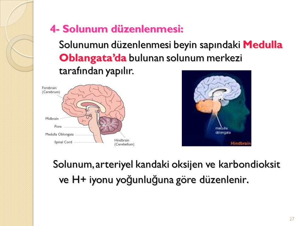 4- Solunum düzenlenmesi: Solunumun düzenlenmesi beyin sapındaki Medulla Oblangata'da bulunan solunum merkezi tarafından yapılır.