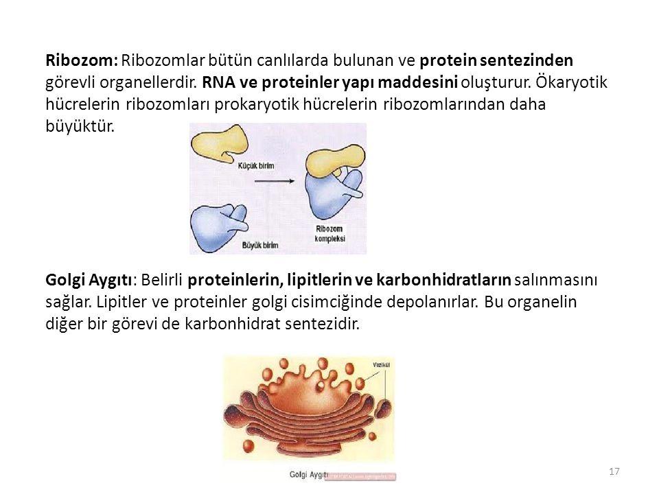 Ribozom: Ribozomlar bütün canlılarda bulunan ve protein sentezinden görevli organellerdir. RNA ve proteinler yapı maddesini oluşturur. Ökaryotik hücrelerin ribozomları prokaryotik hücrelerin ribozomlarından daha büyüktür.