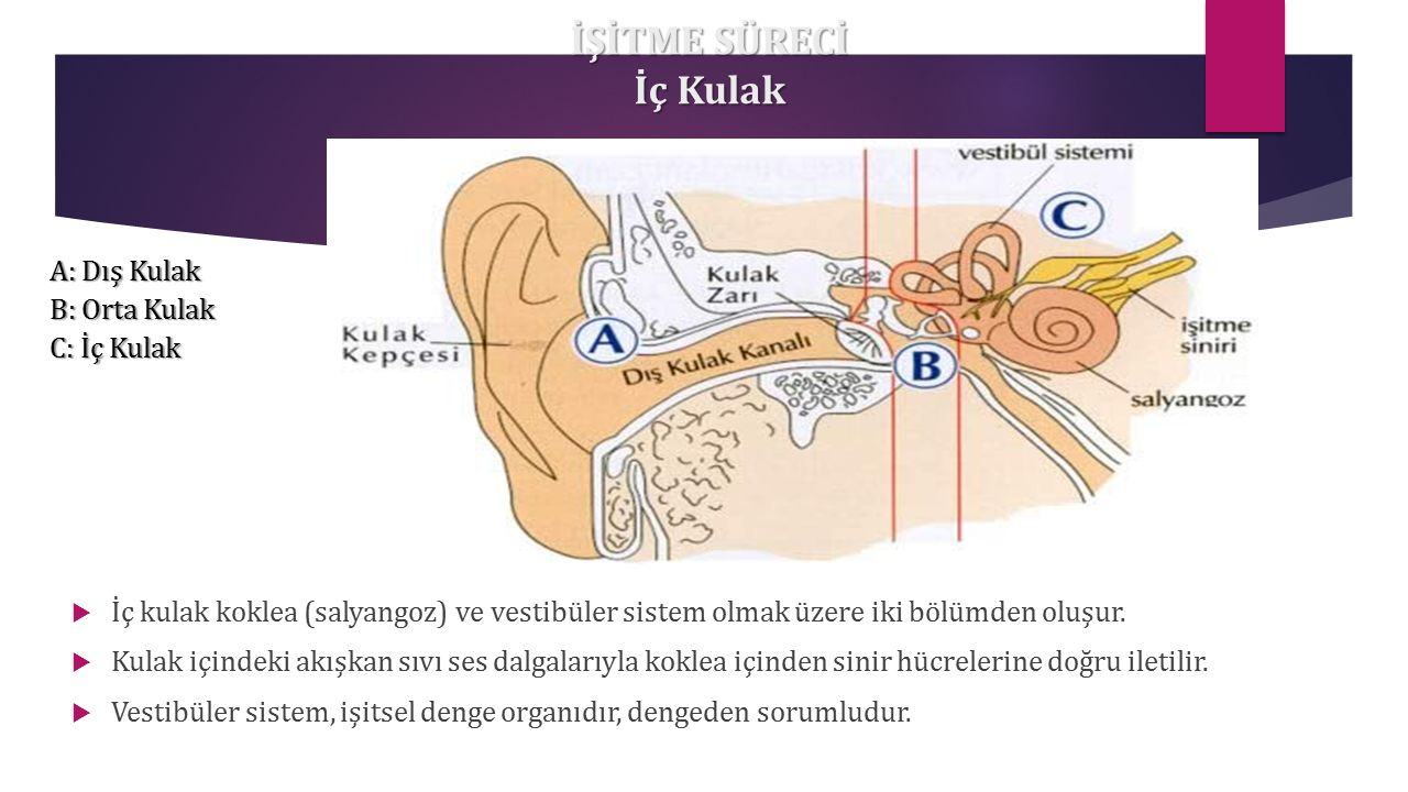 İŞİTME SÜRECİ İç Kulak A: Dış Kulak B: Orta Kulak C: İç Kulak