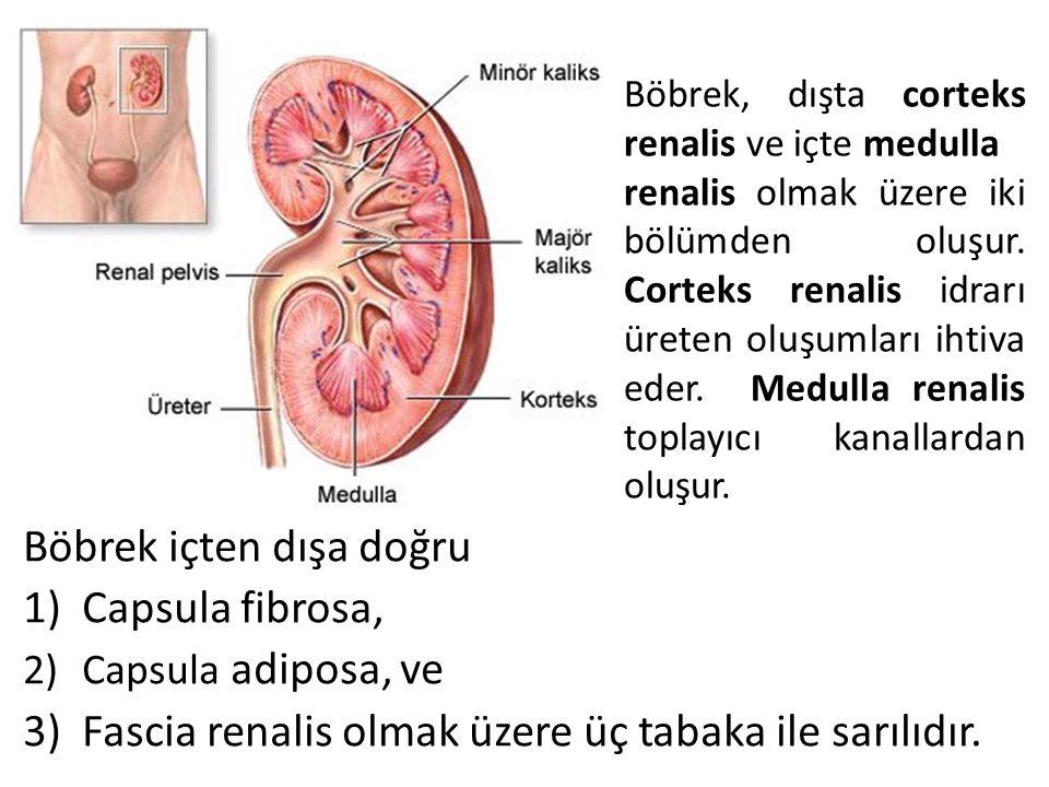 Böbrek içten dışa doğru Capsula fibrosa,