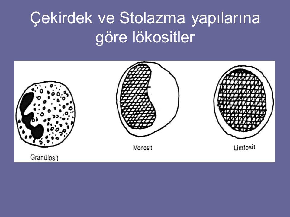 Çekirdek ve Stolazma yapılarına göre lökositler