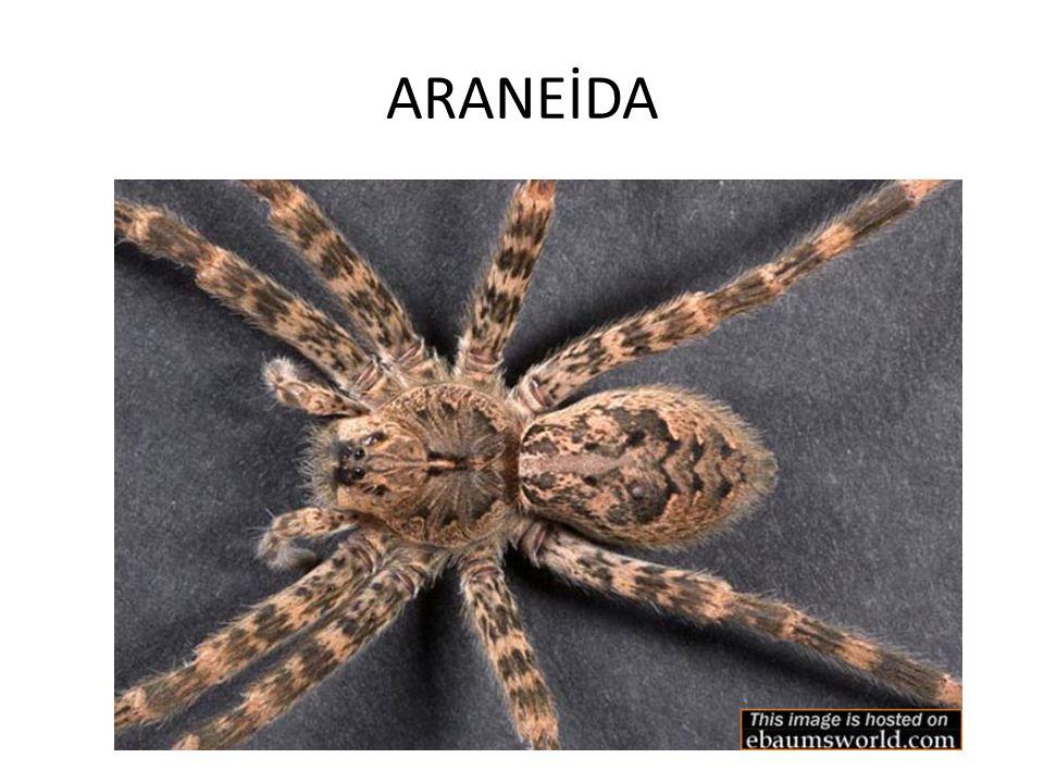 ARANEİDA