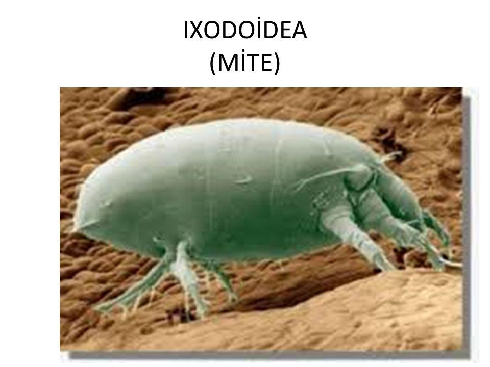 IXODOİDEA (MİTE)