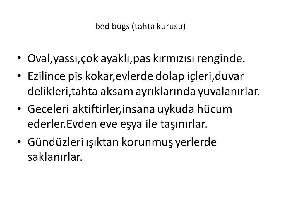 bed bugs (tahta kurusu)