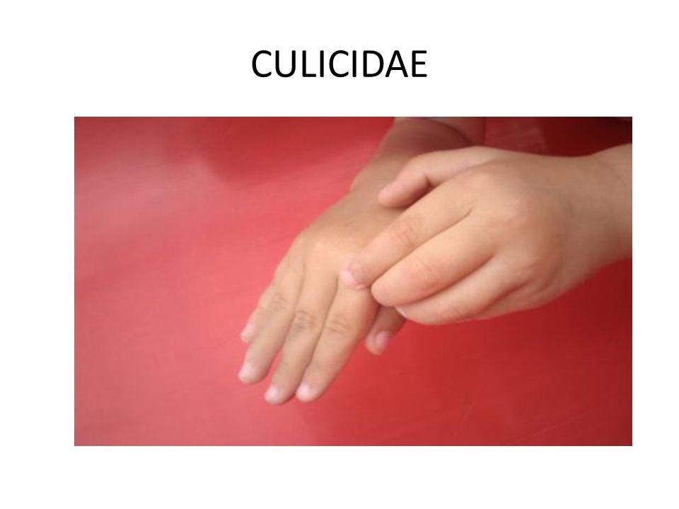 CULICIDAE