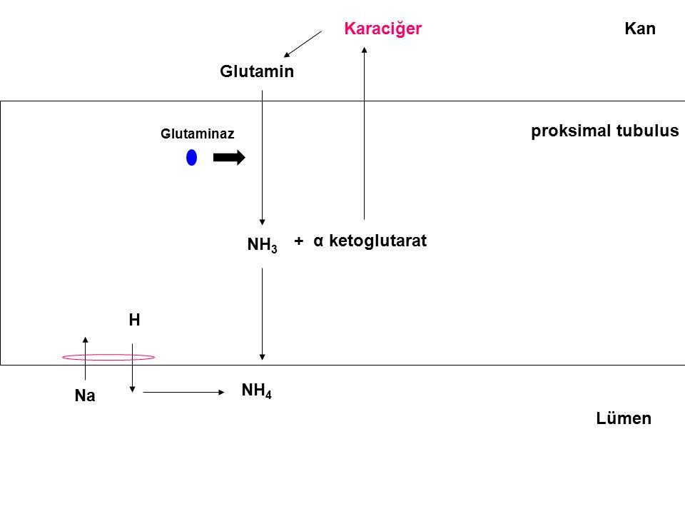 Karaciğer Kan Glutamin proksimal tubulus NH3 + α ketoglutarat H NH4 Na