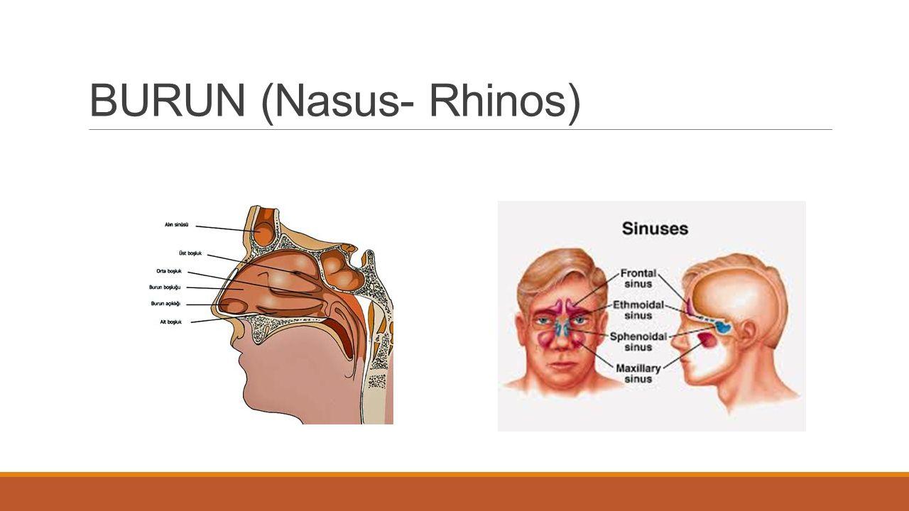 BURUN (Nasus- Rhinos)