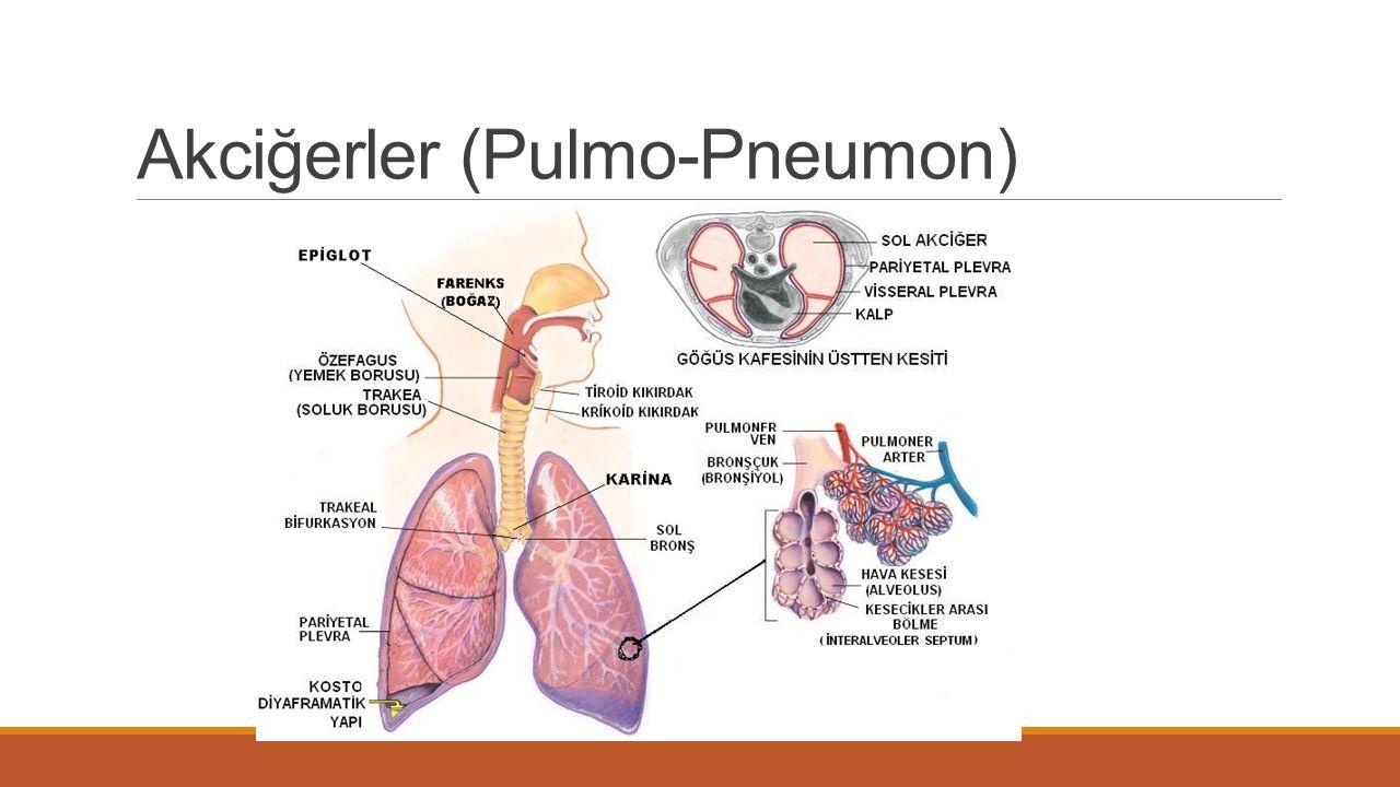 Akciğerler (Pulmo-Pneumon)
