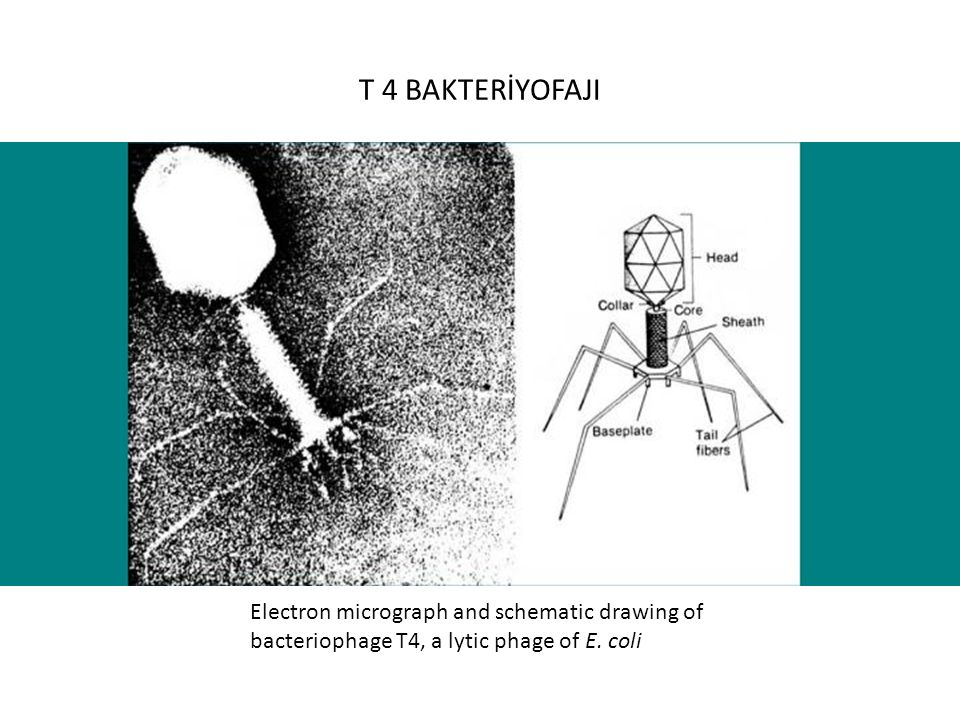T 4 BAKTERİYOFAJI Electron micrograph and schematic drawing of bacteriophage T4, a lytic phage of E.