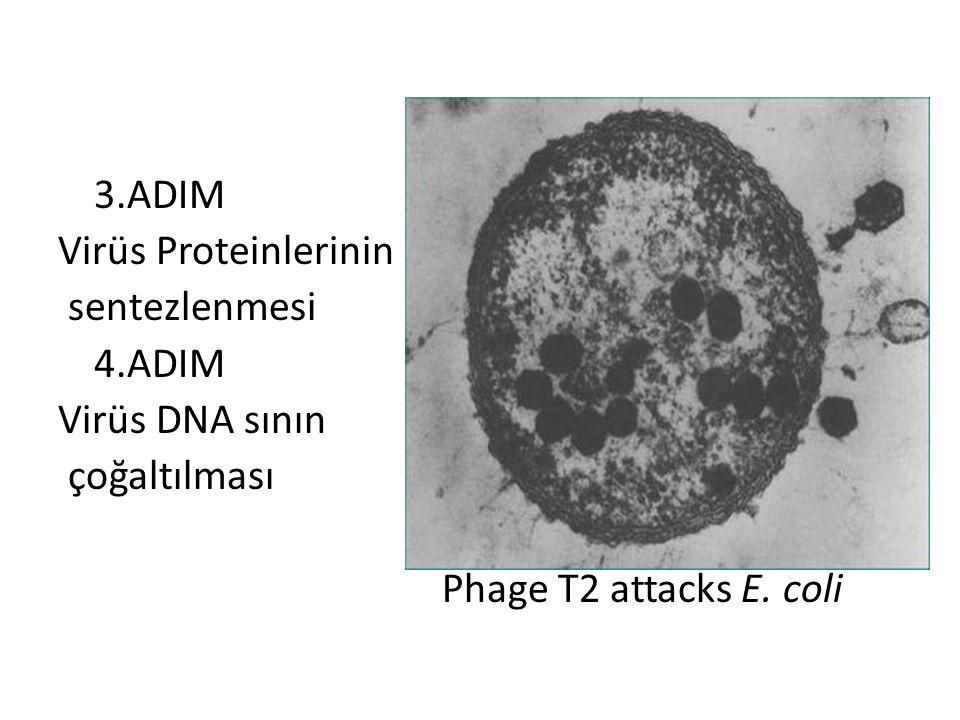 3.ADIM Virüs Proteinlerinin. sentezlenmesi. 4.ADIM.